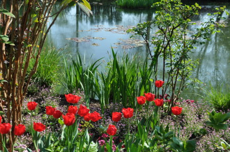 Tulipes rouges au jardin d'eau de Monet