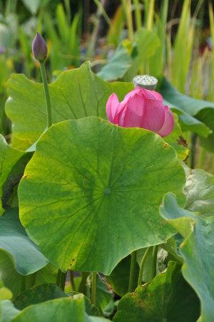 plante aquatique semblable au nenuphar 5 lettres