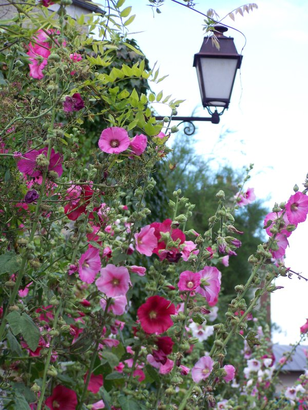 Rose tr mi re giverny news - Planter des roses tremieres ...
