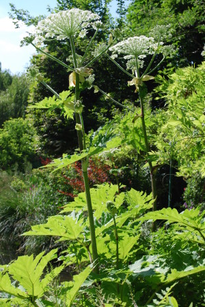 Heracleum, Giverny