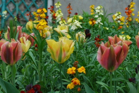 Tulipes et giroflées, Giverny