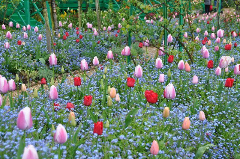 Myosotis bleu et tulipes roses et rouges à Giverny