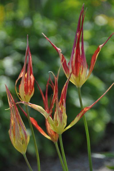 tulipe-acuminata