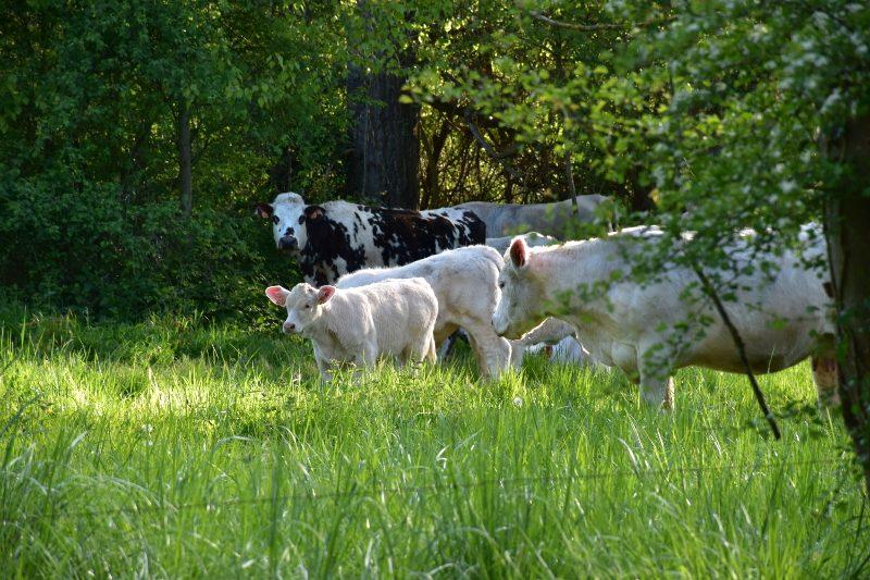 Vaches et veaux à Giverny