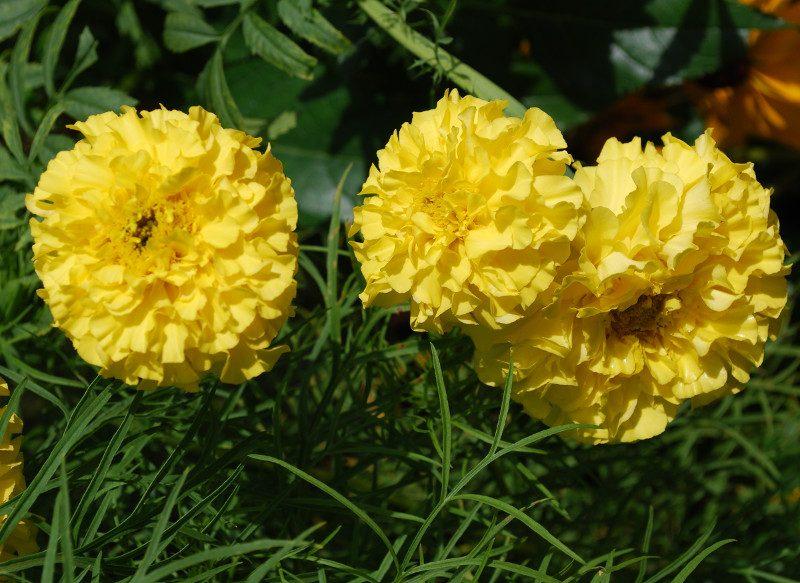 Roses d'Inde
