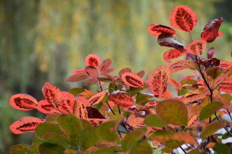 Feuilles de cotinus rougies par l'automne à Giverny