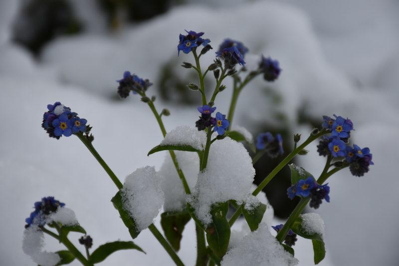 Myosotis sous la neige à Giverny, Eure