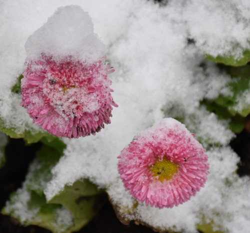 Pâquerettes sous la neige à Giverny, Eure