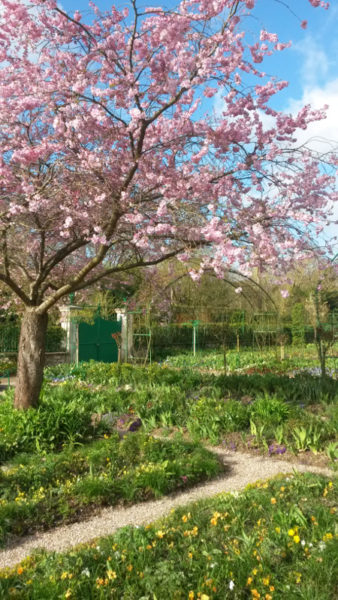 Les cerisiers de Giverny sont en fleurs