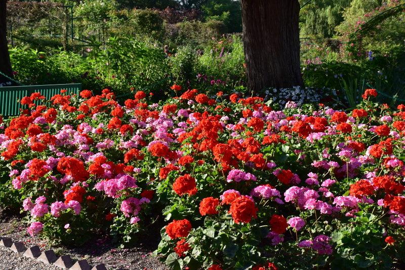 Pélargoniums roses et rouges