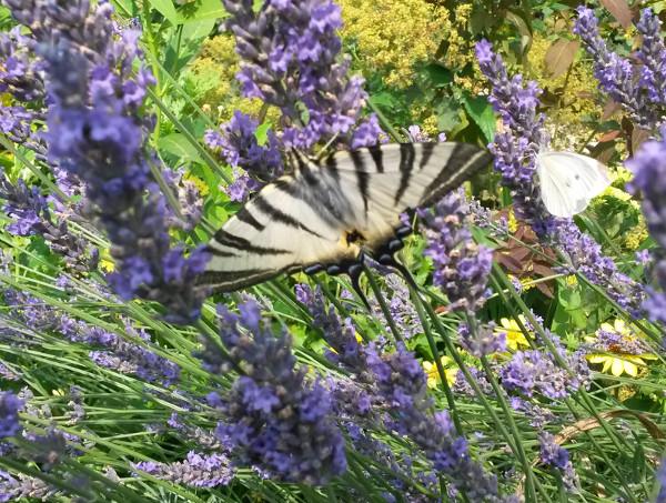 Le papillon flambé