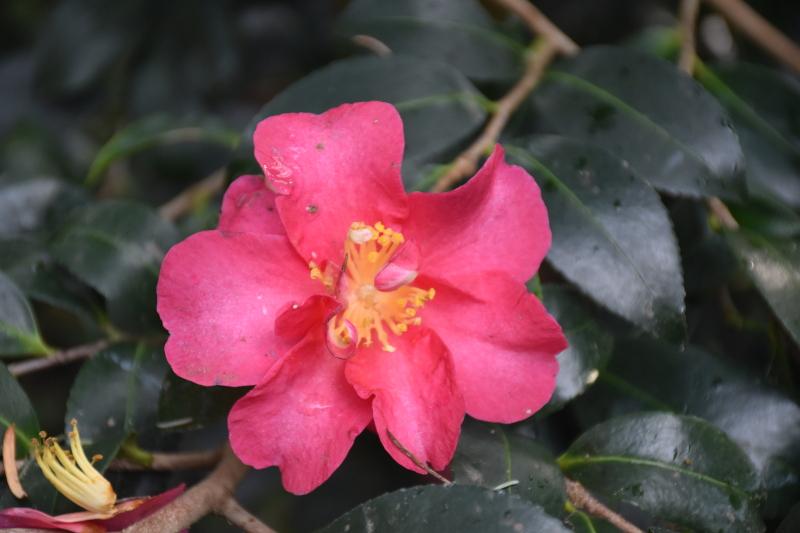 Camélia d'automne