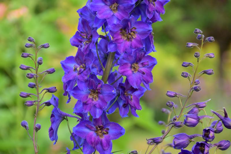 """Monet était """"fleur bleue"""""""
